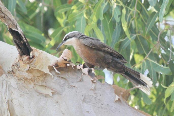 Grey-crowned Babbler, Lee Point