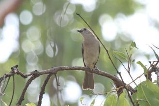 Grey Shrike-Thrush, Charles Darwin NP