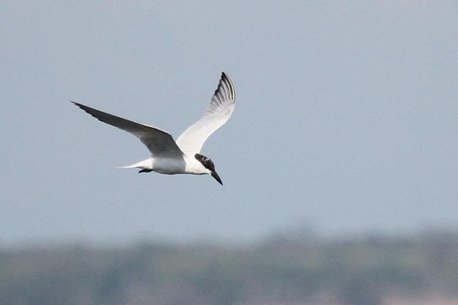 Gull billed Tern, East Point