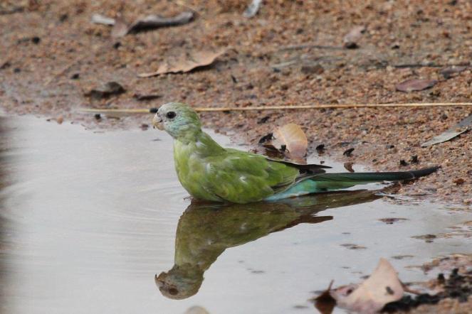 Hooded Parrot - female, Ferguson River