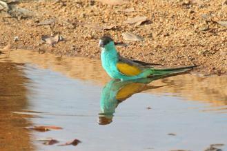 Hooded Parrot - male, Ferguson River