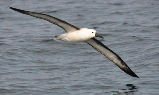 Indian Yellow-nosed Albatross (Thalassarche carteri) Immature