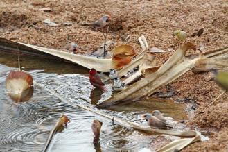 Long-tailed, Crimson & Double-barred Finches, Ferguson River