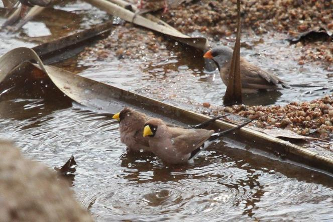 Masked & Long-tailed Finches, Ferguson River