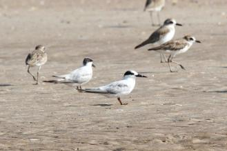 Little Terns -Mystery Terns, Lee Point