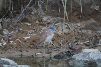 Nankeen Night-Heron, Ferguson River