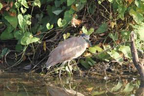 Nankeen Night-Heron, Gagudju - Yellow Water