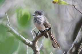 Northern Fantail, Charles Darwin