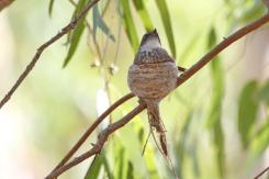 Northern Fantail, East Point