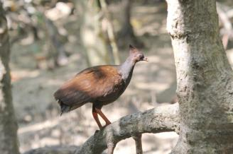 Orange-footed Scrub-fowl, Buffalo Creek