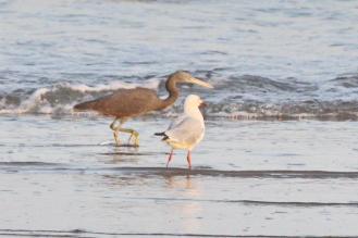Eastern Reef Egret, Lee Point