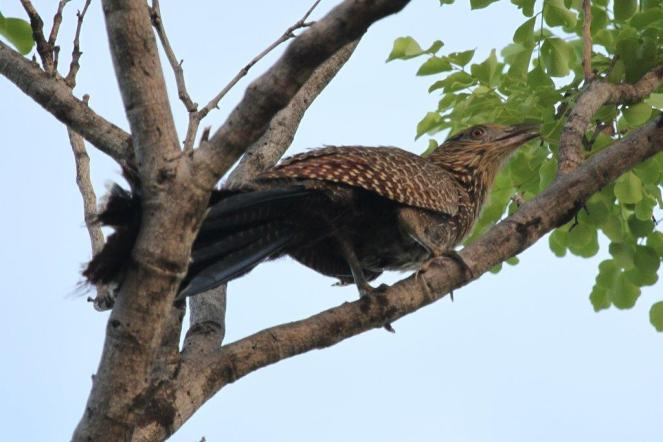 Pheasant Coucal, Edith Falls