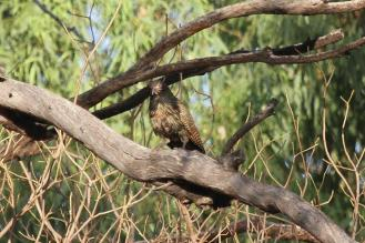 Pheasant Coucal - male, Victoria River