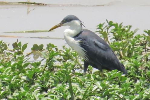 Pied Heron, Mamukala Wetlands