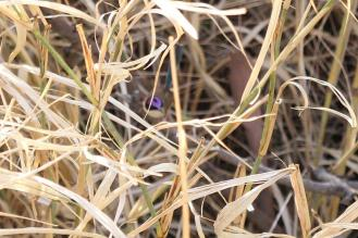 Purple-crowned Fairy-Wren - male, Victoria River