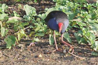 Purple Swamphen, Gagudju - Yellow Water