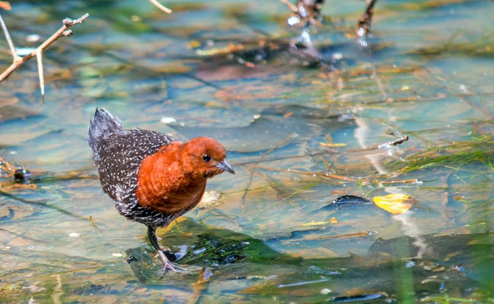 Red chested Flufftail captured by Wayne Sykes at uMzinkulu River Lodge