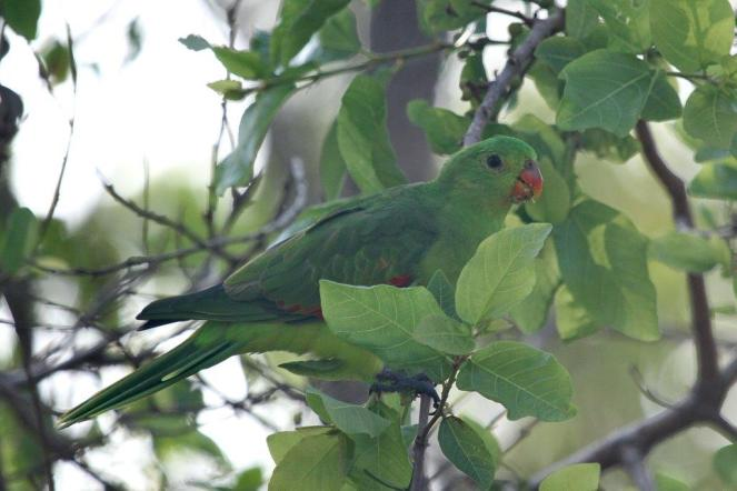 Red-winged Parrot, Charles Darwin NP