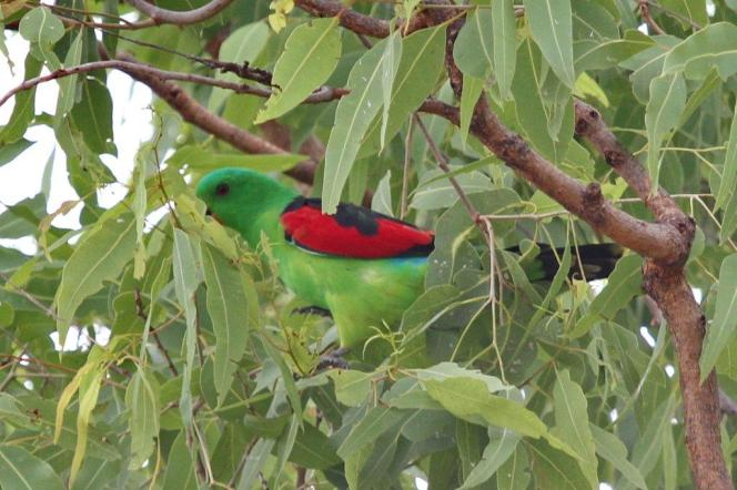 Red-winged Parrot, Katherine to Victoria River