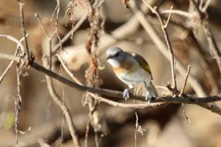 Rufous-banded Honeyeater, Gagudju - Yellow Water
