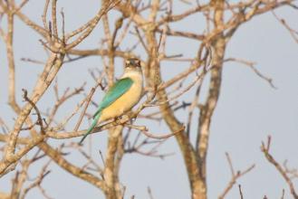 Sacred Kingfisher, Gagudju - Yellow Water