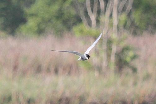 Whiskered Tern, Fogg Dam