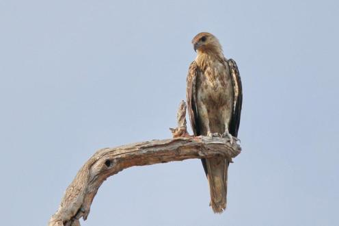 Whistling Kite, Bird Billabong - Mary River