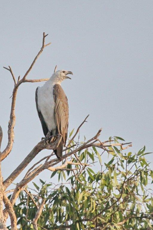 White-bellied Sea-Eagle, Gagudju, Yellow Water