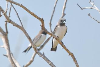 White-breasted Woodswallow, Buffalo Creek