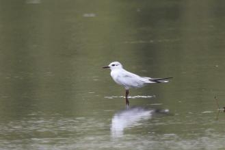 Whiskered (Leucistic?) Tern, McMinns Lagoon