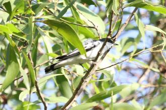 White-winged Triller, McMinns Lagoon