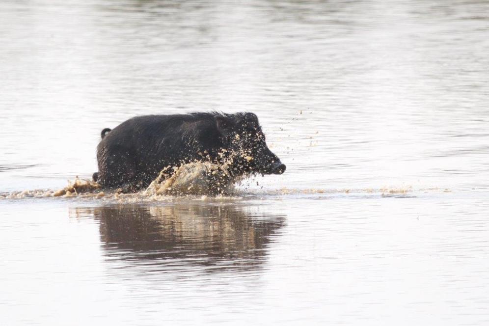Feral Pig, Bird Billabong - Mary River