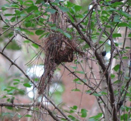 African Broadbilll nest