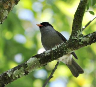 Bush Blackcap (Lioptilus nigricapillus)