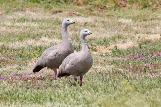 Cape Barren Geese, Werribee