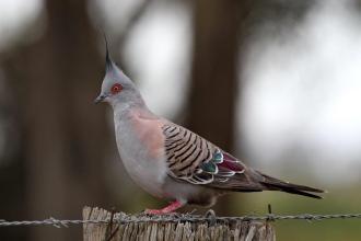 Crested Pigeon, Werribee