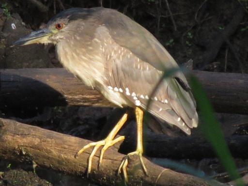 Green-backed Heron juv