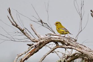 Greenfinch, Werribee