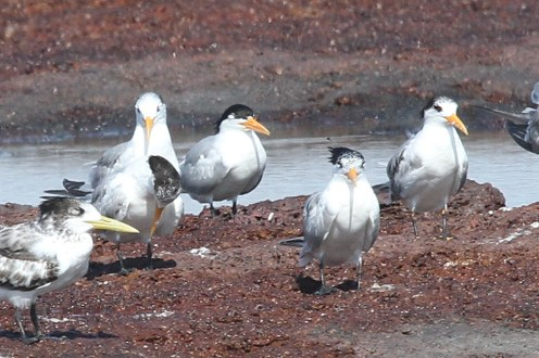 Lesser Crested Tern, East Point