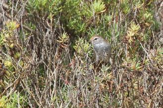 Little Grassbird, Werribee