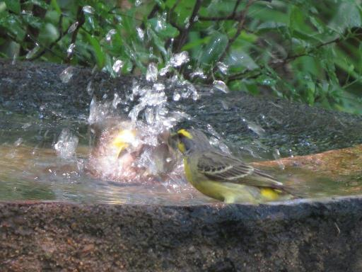 Yellow-fronted Canary wants to join in the fun