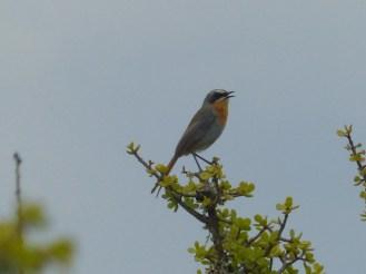 Cape Robin-Chat