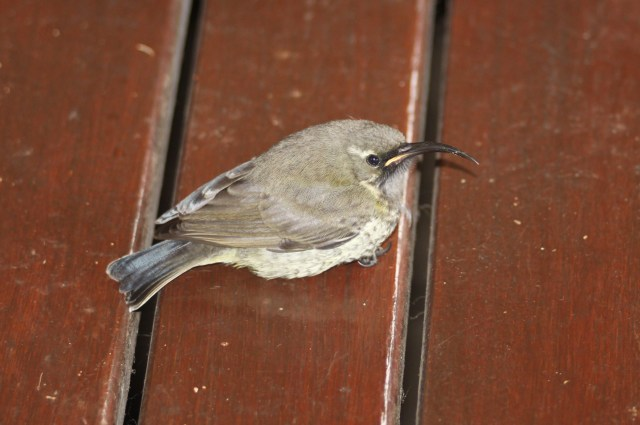 Juvenile Sunbird Resting on deck