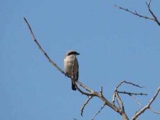 Lesser Grey Shrike on tree