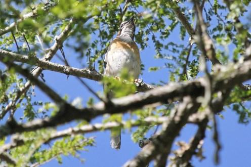 White-browed Scrub-Robin
