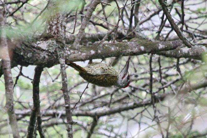 Bennett's Woodpecker, Ndumo (not a Bearded)
