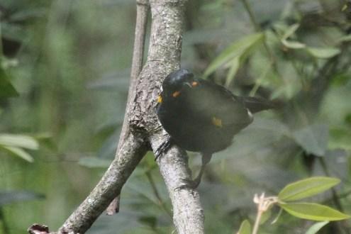 Black Cuckooshrike showing all his colours, Bonamanzi (Not a Cuckoo!!)