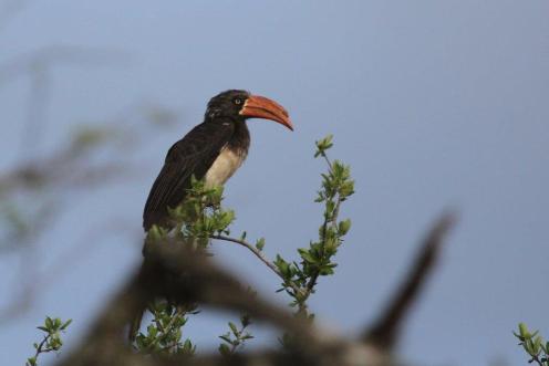 Crowned Hornbill,