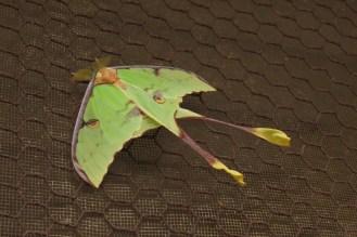 Luna Moth, Bonamanzi (Not an Emperor Moth)