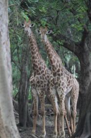 Giraffes, Standing tall